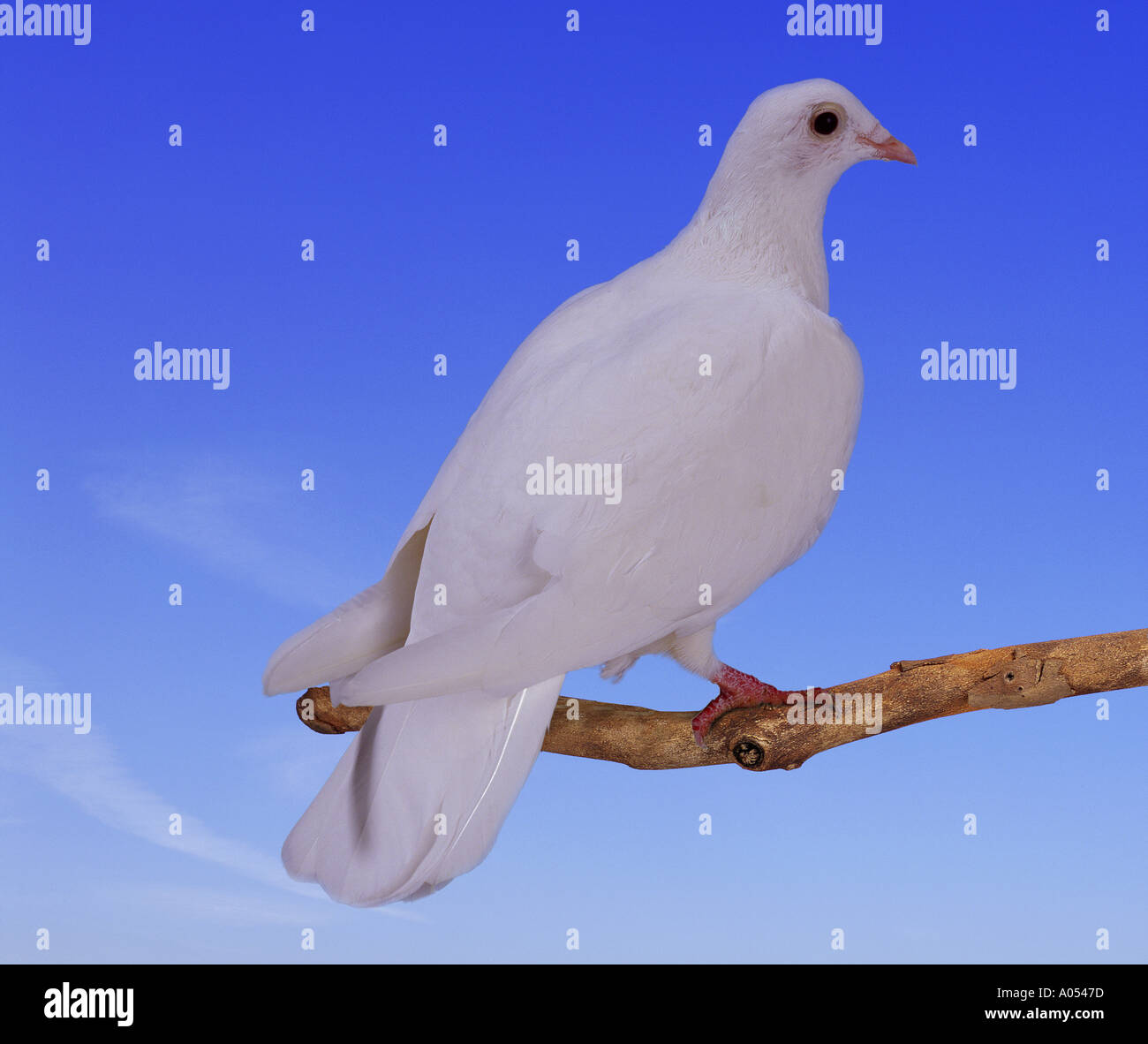 Colombe blanche Photo Stock