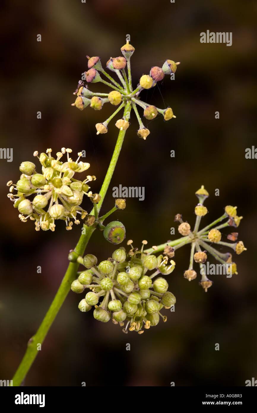 Fleurs de lierre hedera semences contre nice et larrière plan foncé désamorcer bedfordshire