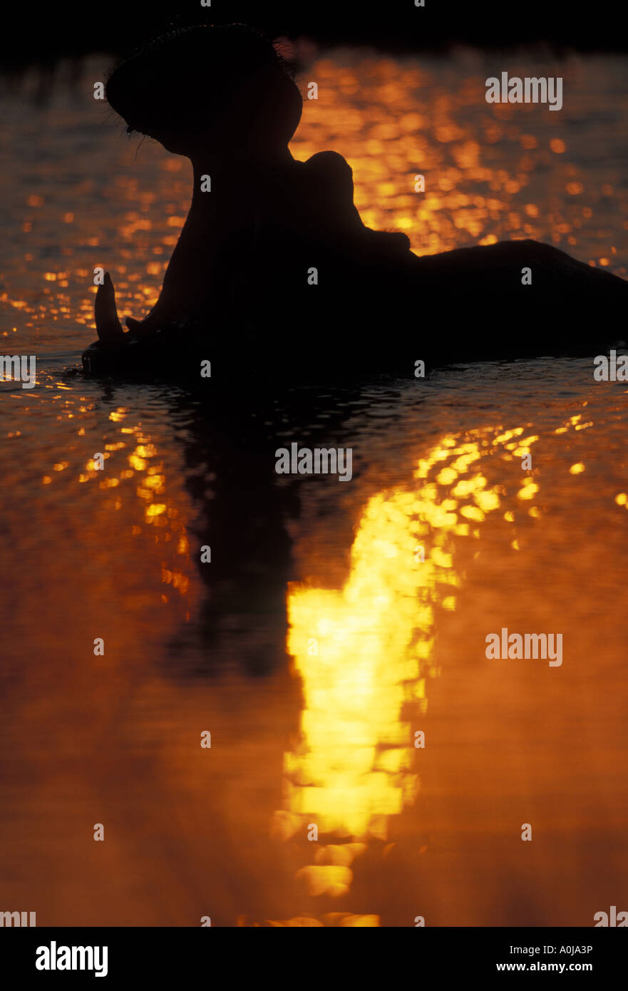 Botswana Moremi Hippopotamus Hippopotamus amphibius yawning in silhouette en piscine au coucher du soleil Banque D'Images