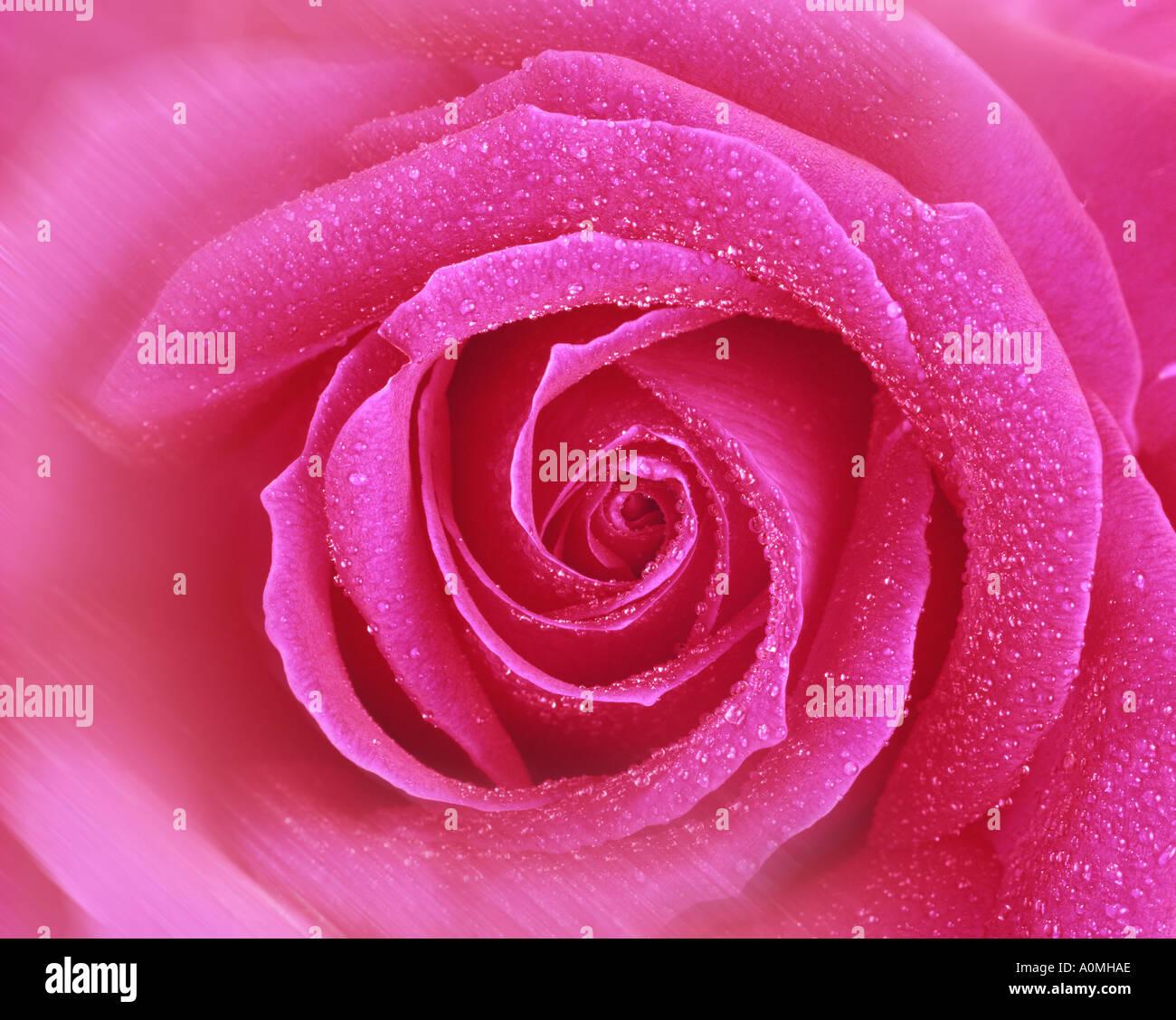 Flore: English Rose Rouge (lat: rosa007) Photo Stock