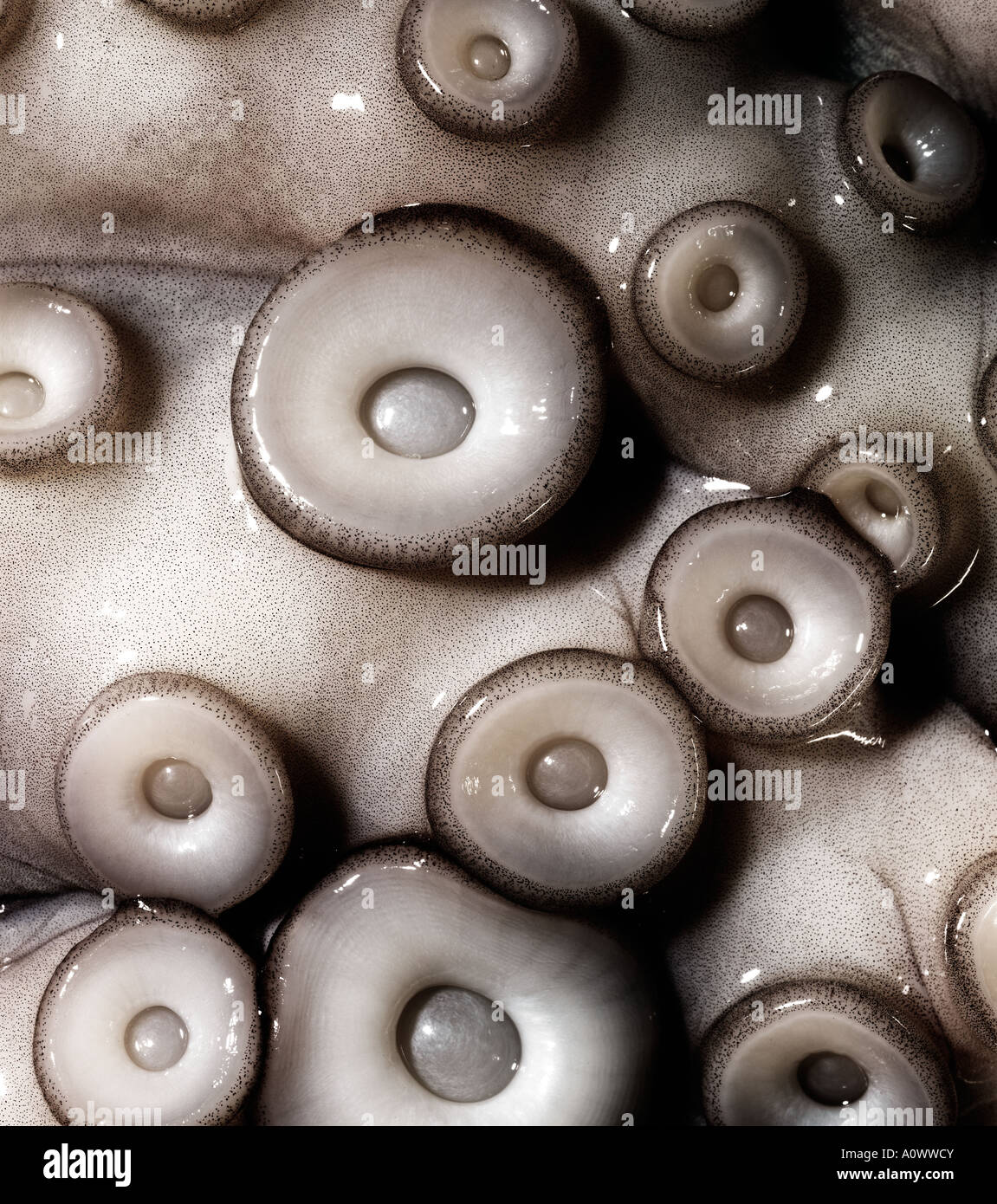 Le poulpe cuit pas close up de drageons Octopus Banque D'Images