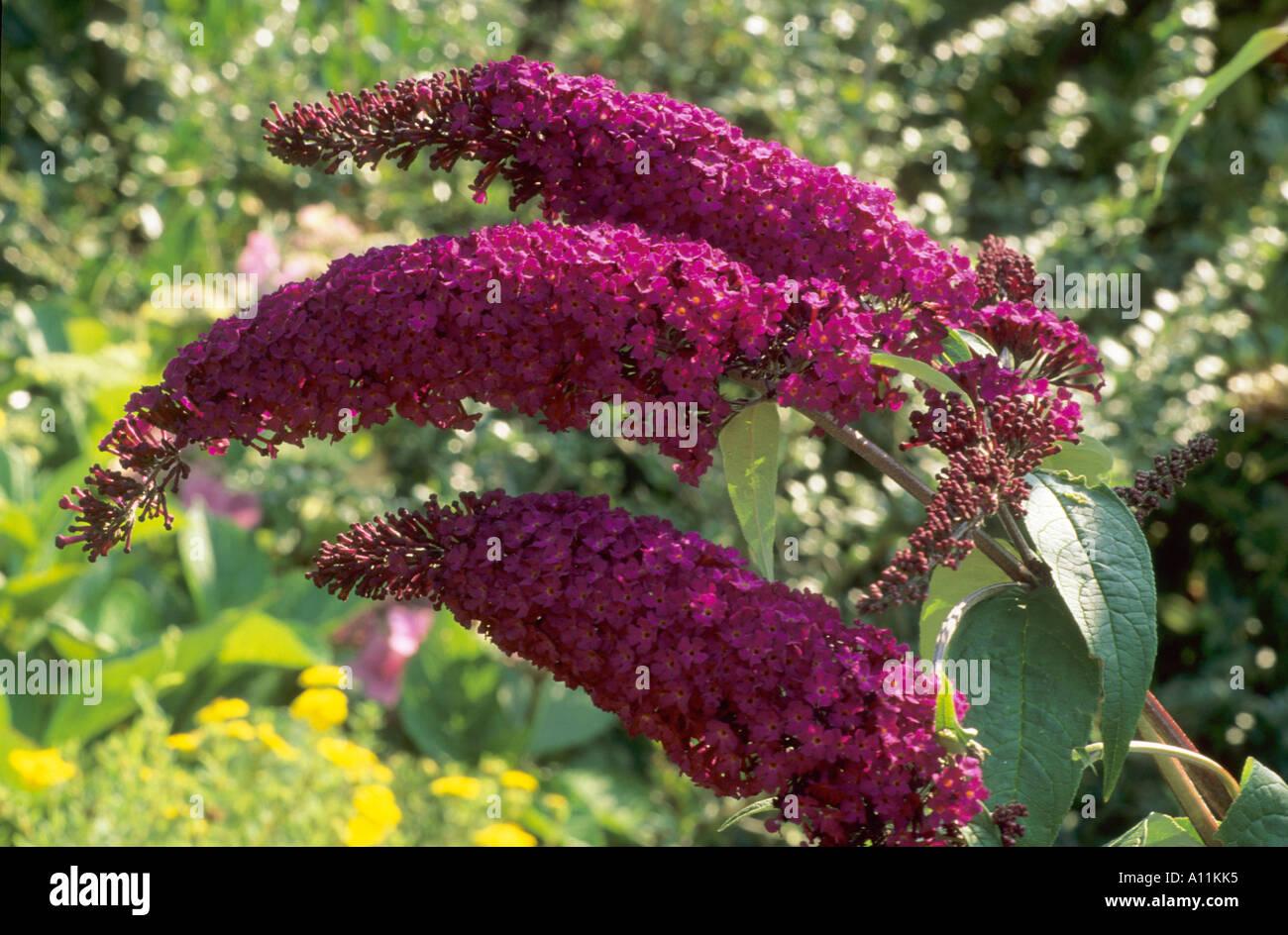 Buddleia \'Royal Red\', rouge foncé tubulaires odorantes, fleurs ...