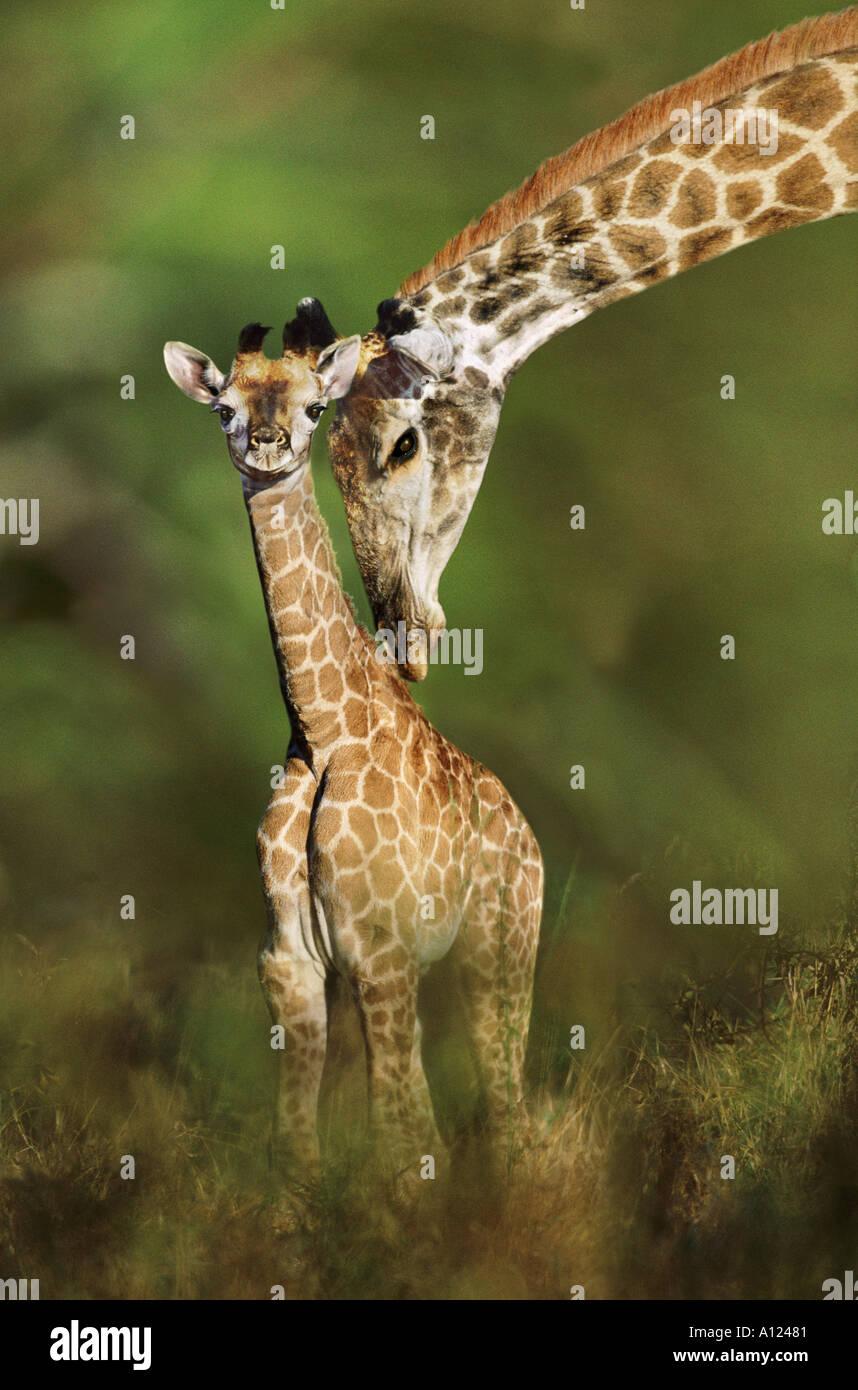 Girafe et Jeune Afrique du Sud Photo Stock