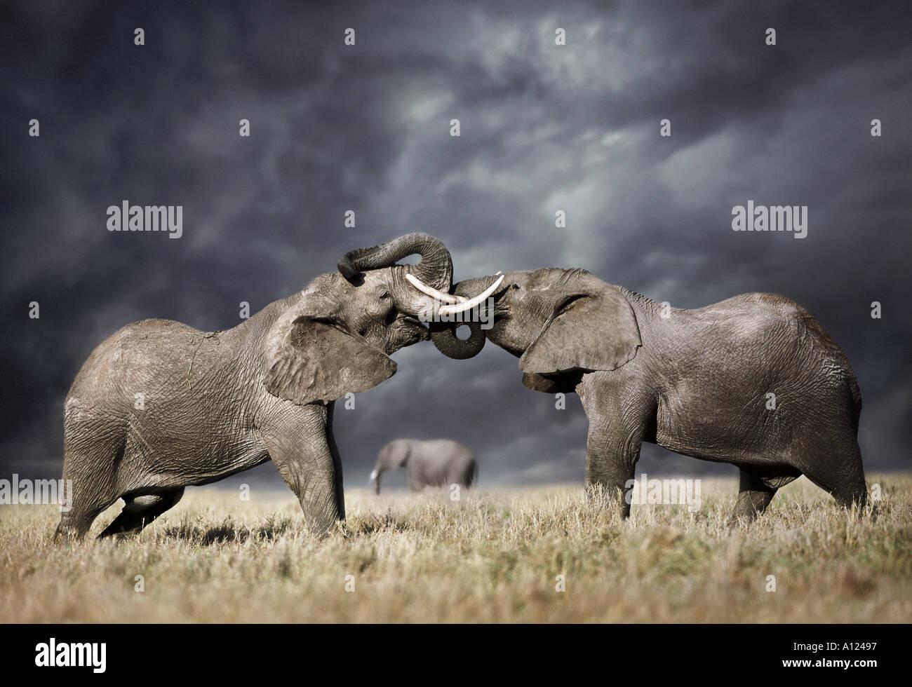 La lutte contre les éléphants ciel orageux Masai Mara, Kenya Photo Stock