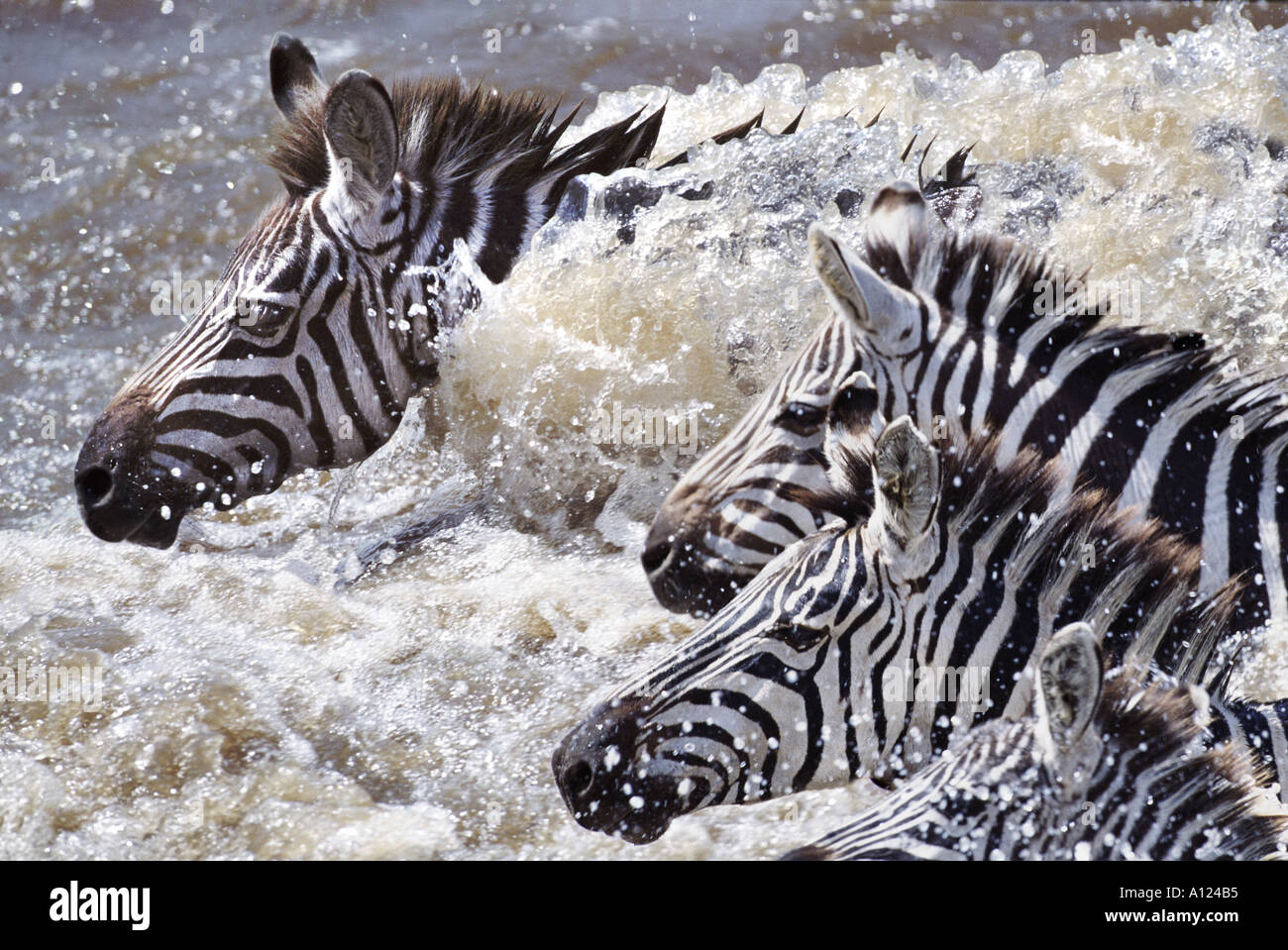 Les zèbres traversant la rivière Mara au Kenya sur les migrations Photo Stock