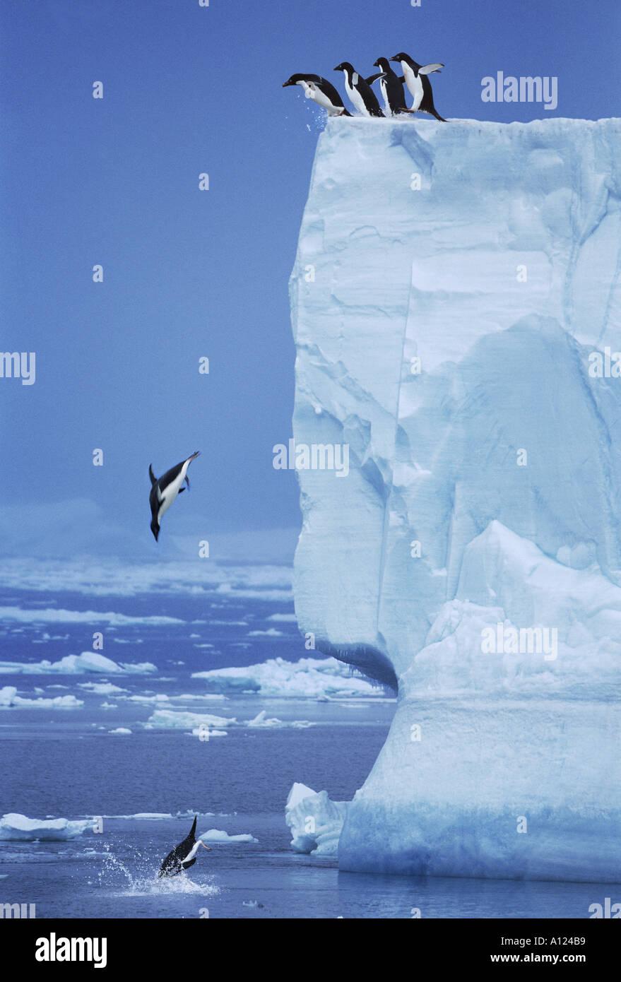 Les manchots Adélie sautant hors de l'Antarctique iceberg Photo Stock