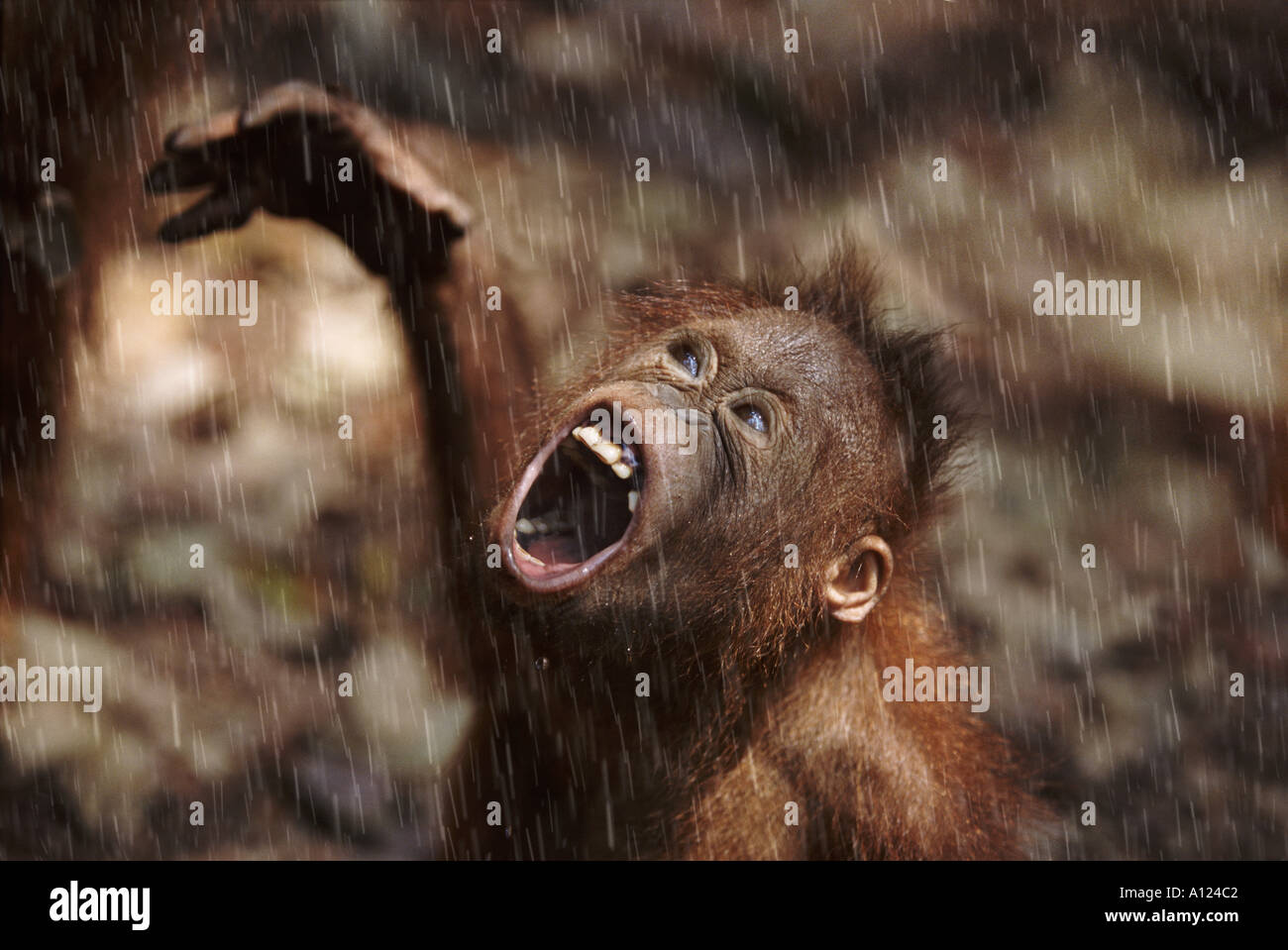 Les jeunes orang-outan de Bornéo sous la pluie Photo Stock