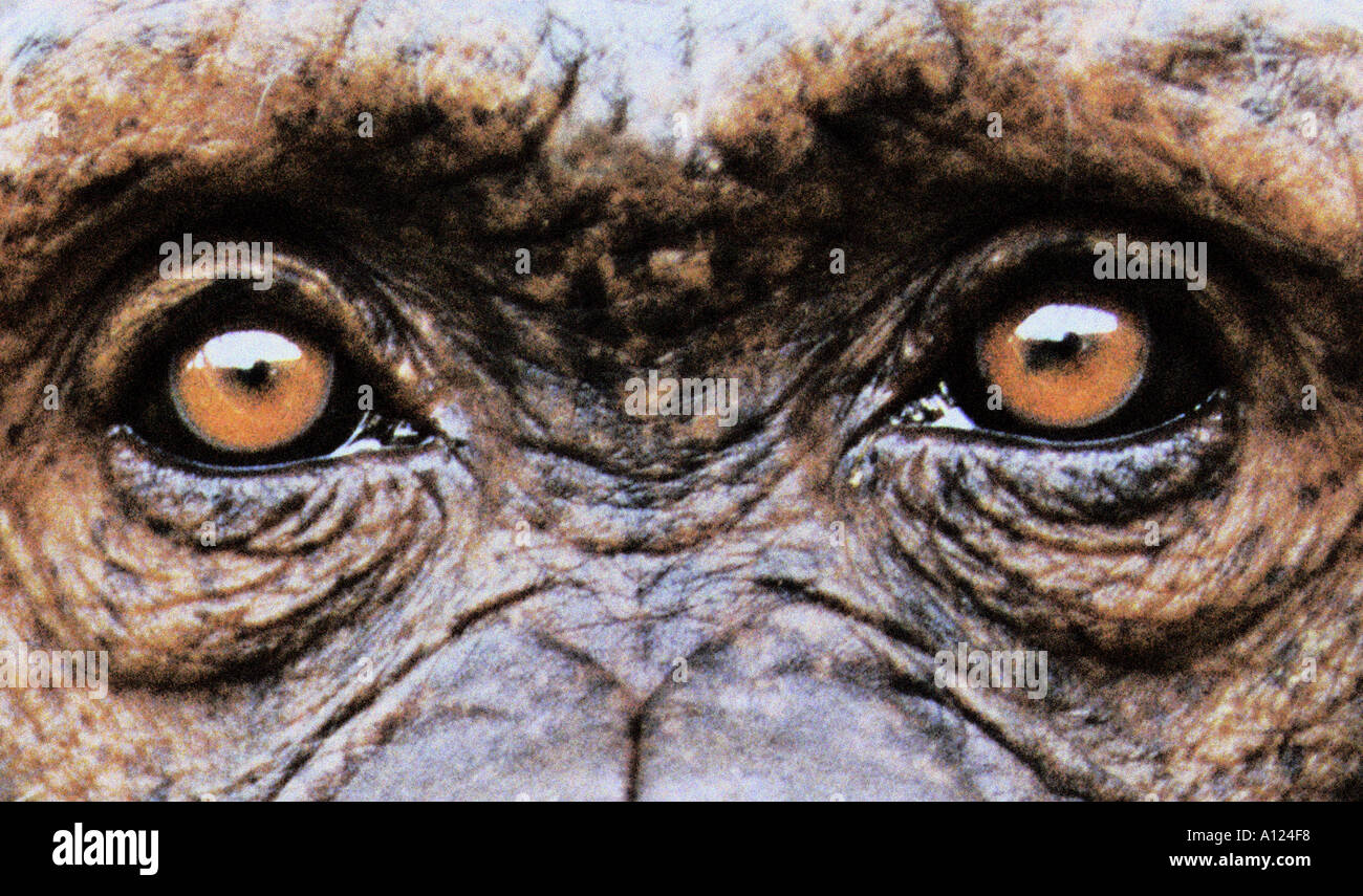 Les yeux de chimpanzé Photo Stock