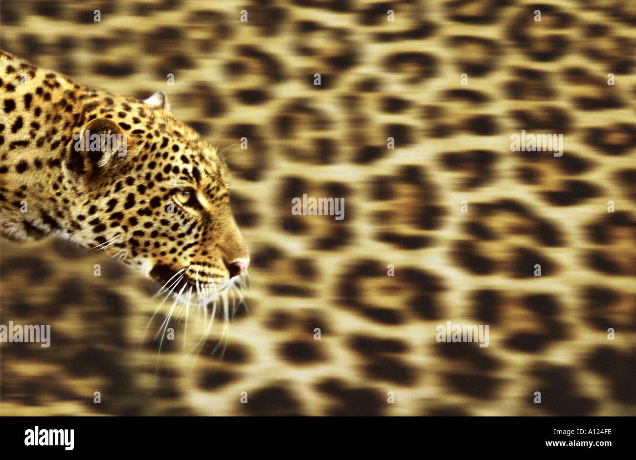Leopard sur fond leopardskin Banque D'Images