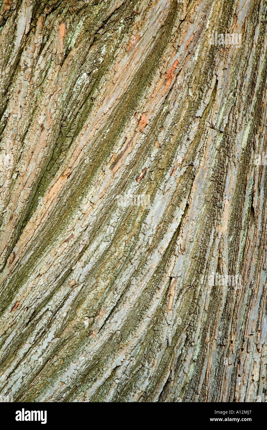 Castanea sativa châtaignier écorce des arbres adaptés à la texture ou à l'utilisation d'arrière-plan Photo Stock