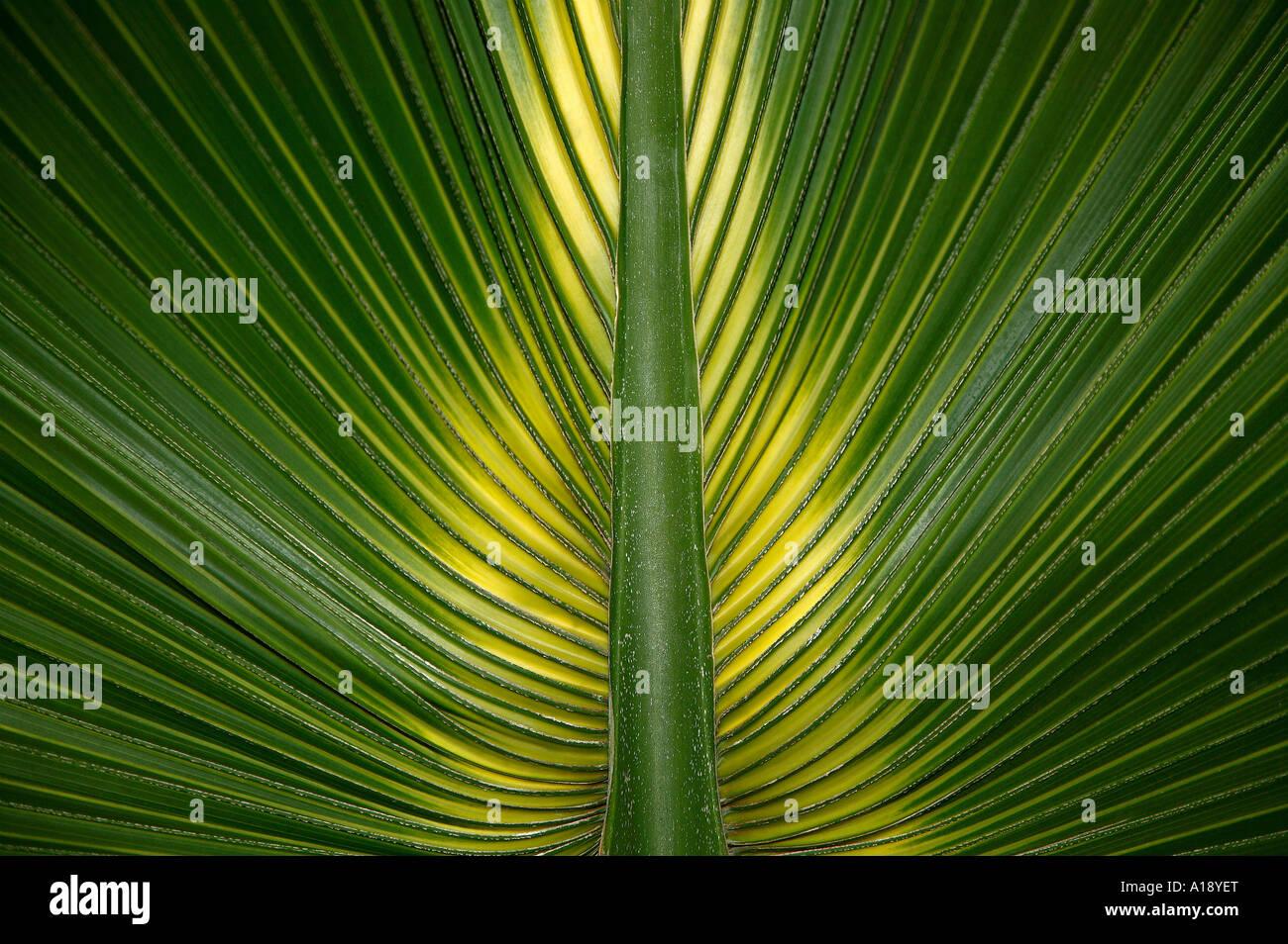 La symétrie des feuilles de palmier Photo Stock