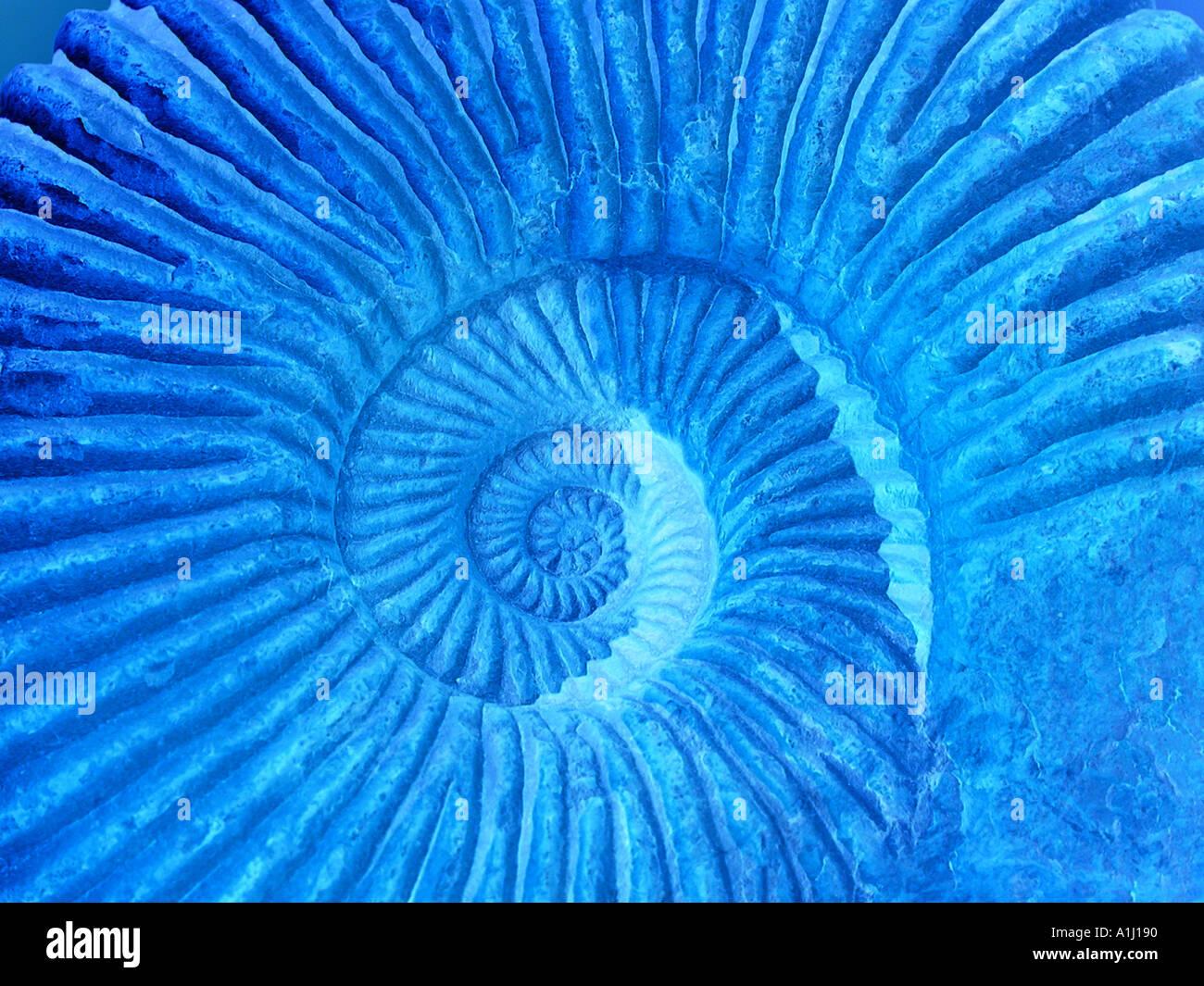 Mer Amonitas fossiles marocains Photo Stock