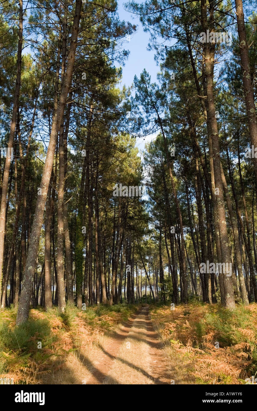 Sentier de forêt - arbres le long d'un sentier forestier dans la forêt des Landes, Aquitaine, France Photo Stock
