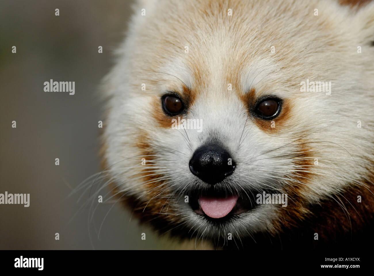 'Red panda', Ailurus fulgens, Close up of face Photo Stock