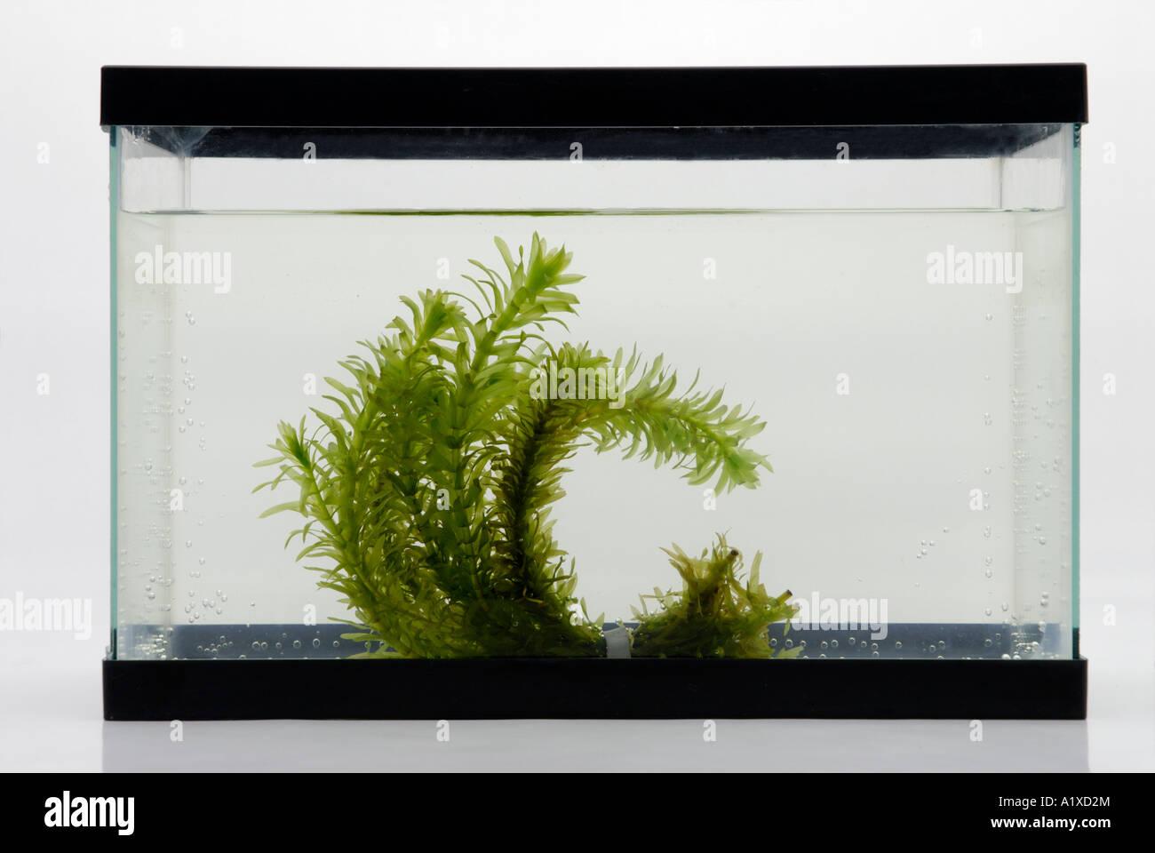 Les plantes aquatiques dans un aquarium tank Photo Stock