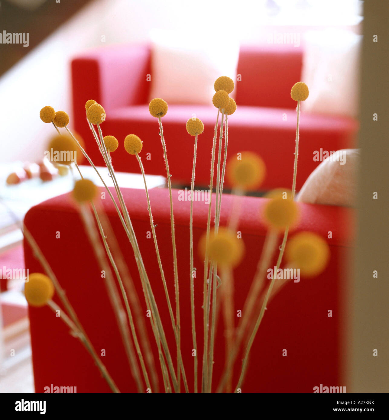 Détail de plante sèche tête en intérieur avec des sofas rouges Photo Stock