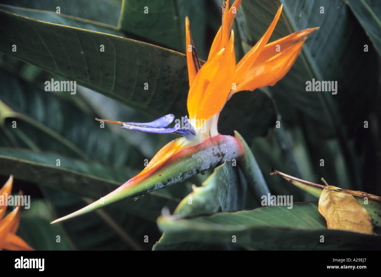 Strelitzia Reginae Oiseau Du Paradis Fleur Dans Le Jardin Botanique