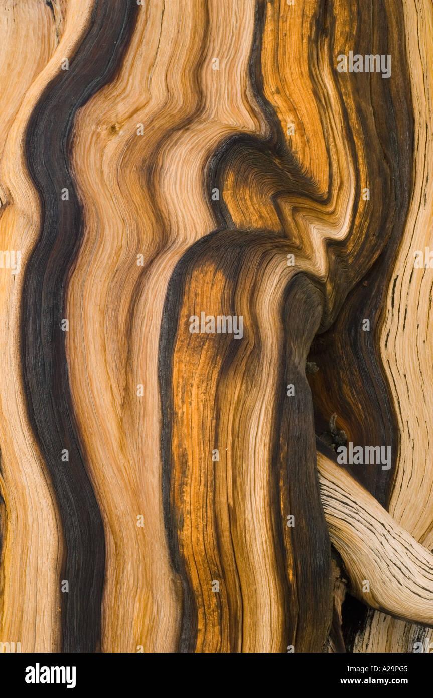Bristlecone Pine (Pinus longaeva) Montagnes Blanches, en Californie, l'écorce des arbres plus vieux détail sur la terre Photo Stock