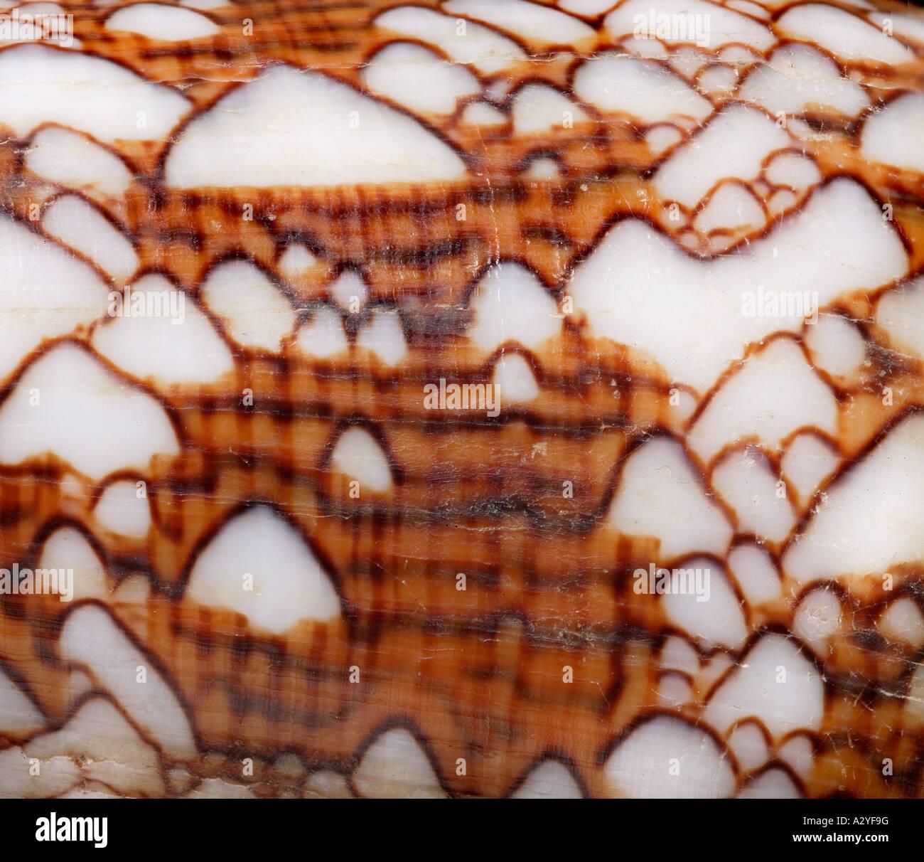 Conus cône textile textiles Banque D'Images
