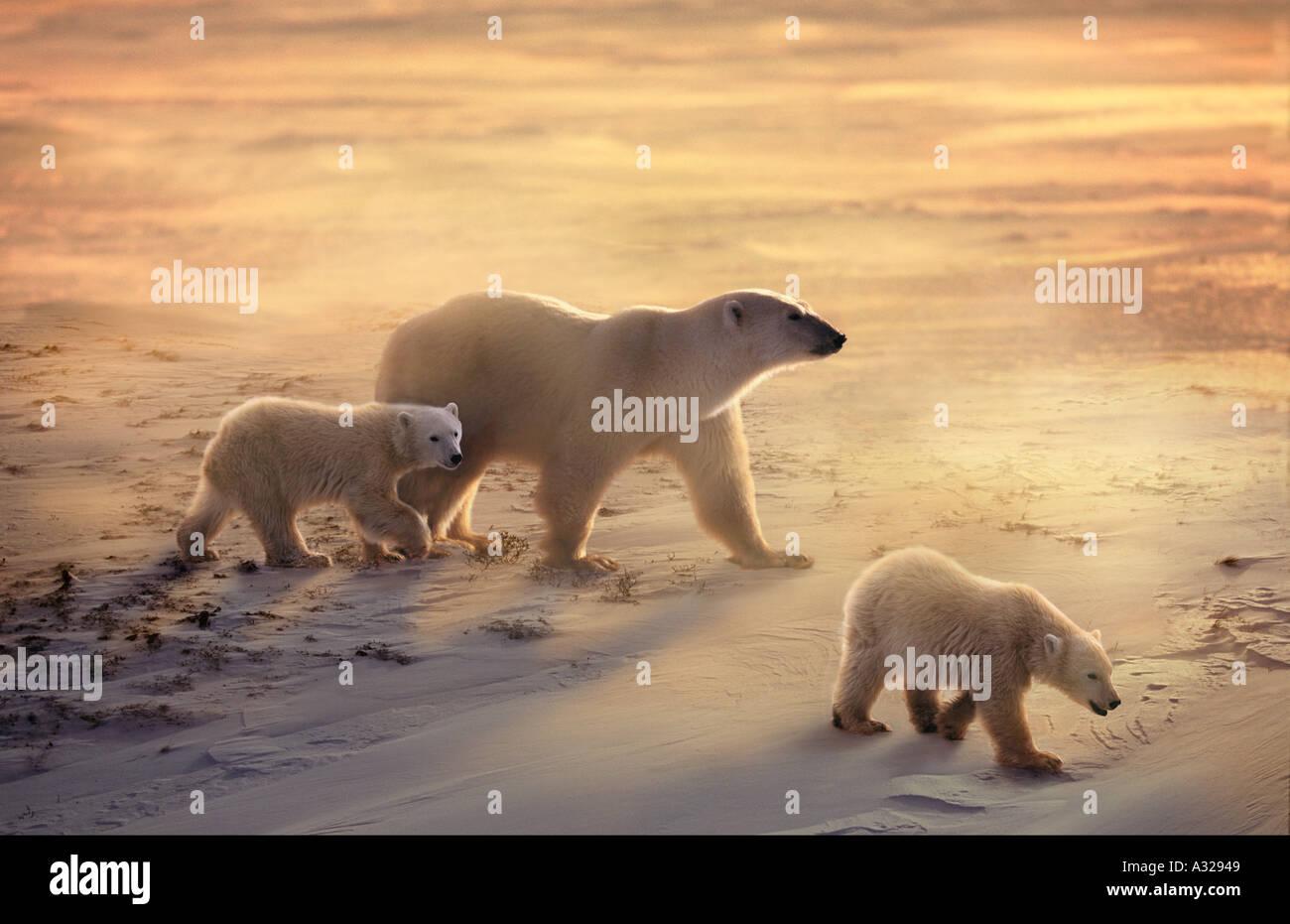 Mère de l'ours et d'oursons dans la neige et le vent du cap Churchill Manitoba Canada Photo Stock