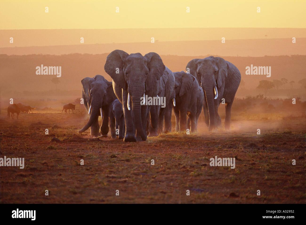 Famille d'éléphants à l'aube le Masai Mara au Kenya Photo Stock
