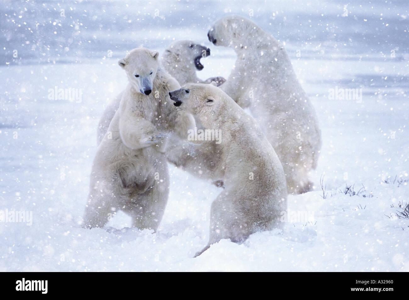 Deux paires d'ours blancs dans la neige de sparring Cape Churchill Manitoba Canada Photo Stock