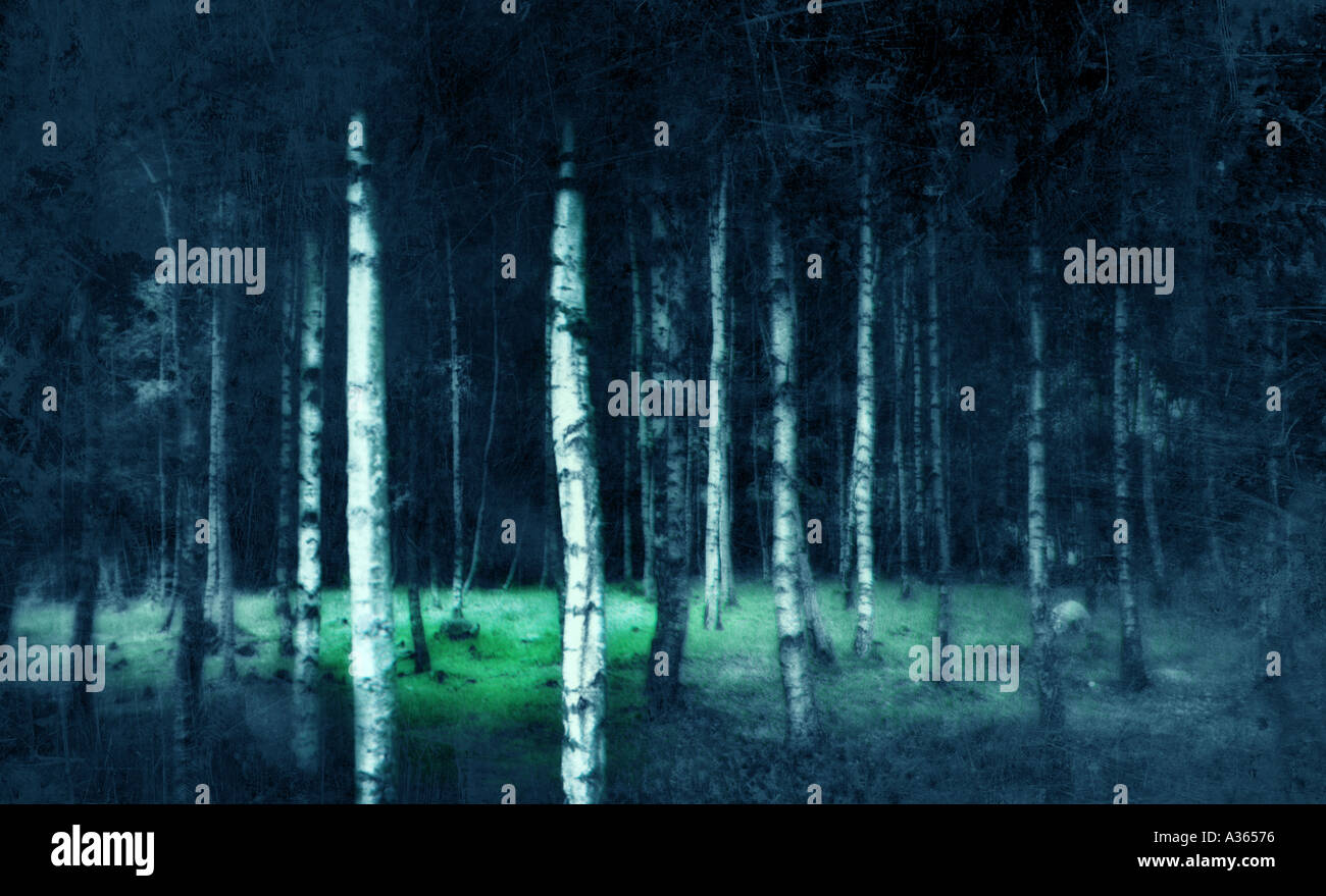 Birch Photo Stock