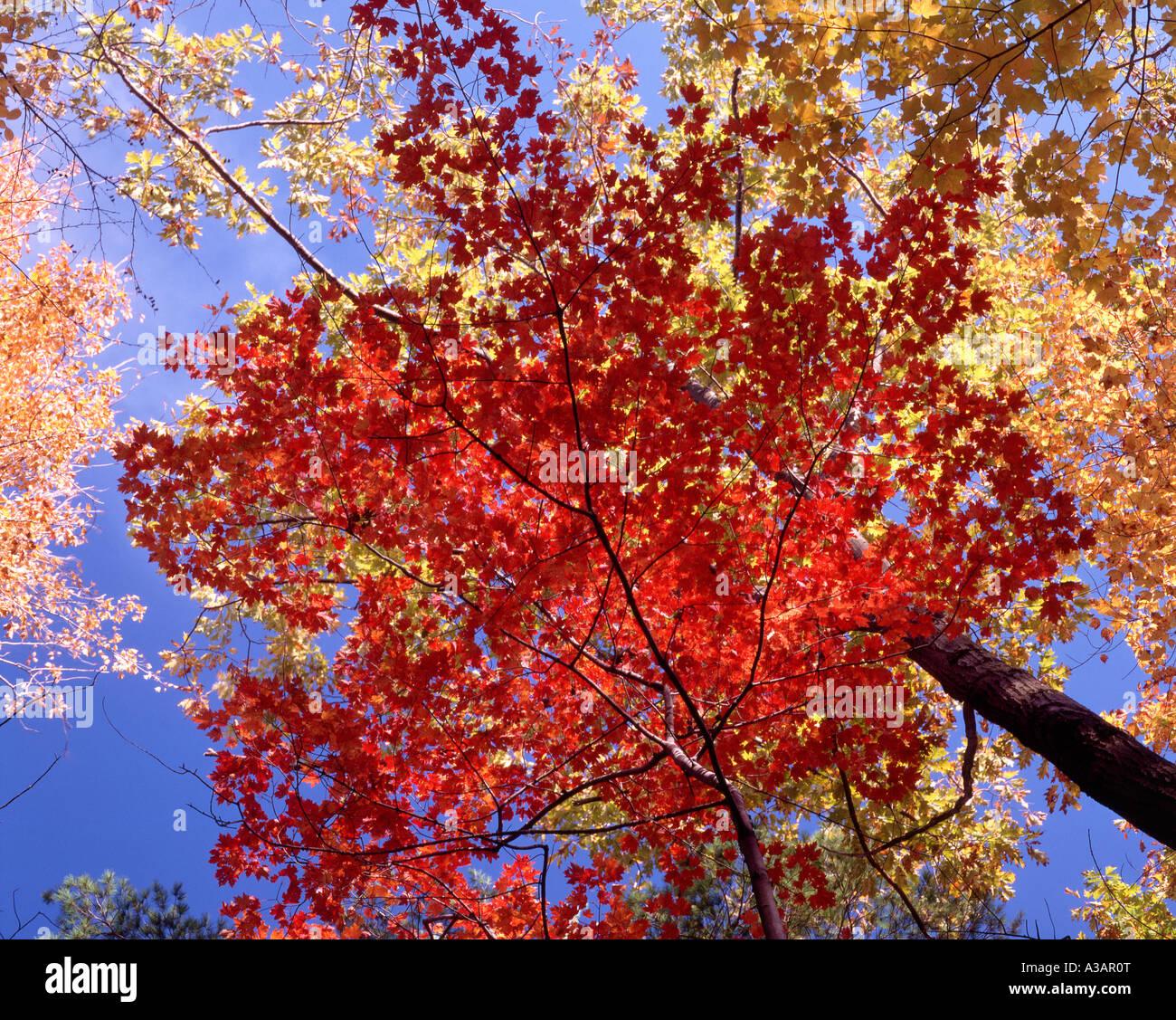 Le ciel à l'intermédiaire des branches d'arbre à feuillage automne coloré en Nouvelle Photo Stock