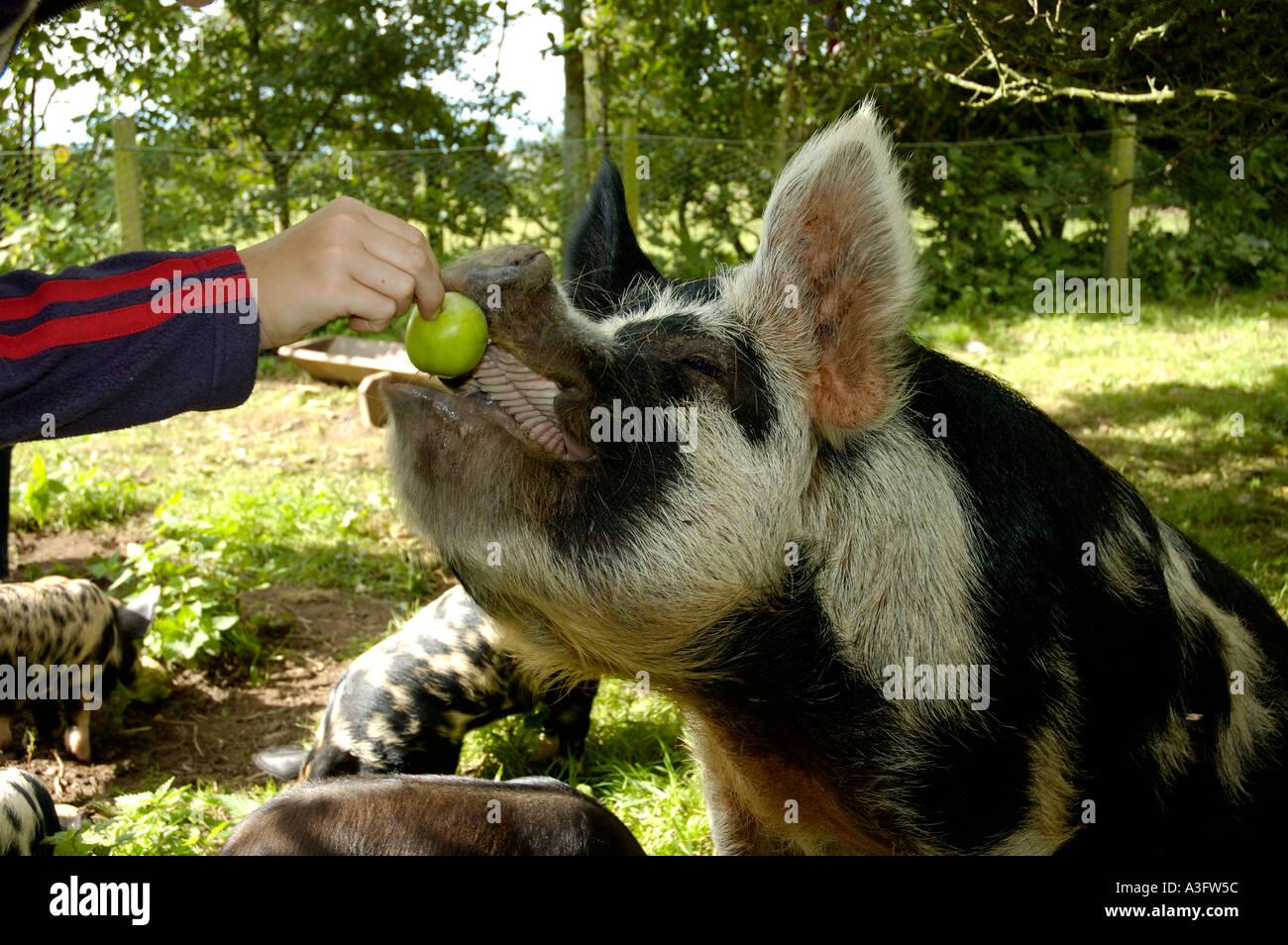 Cochon Kune-Kune alimenté une pomme dans un verger en Cumbria UK Photo Stock