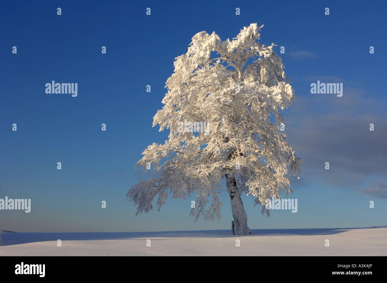 La neige a couvert Beech Tree, Forêt-Noire, Bade-Wurtemberg, Allemagne Banque D'Images