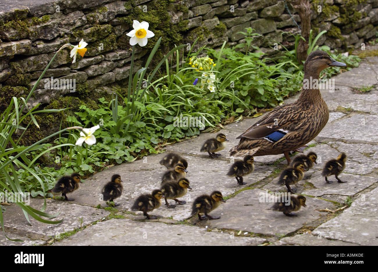 Canard colvert avec ses Treize canetons dans un jardin de campagne anglaise Photo Stock