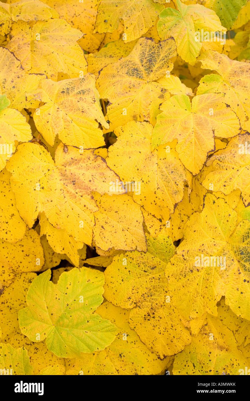Feuilles jaunes colorés dans un buisson Photo Stock