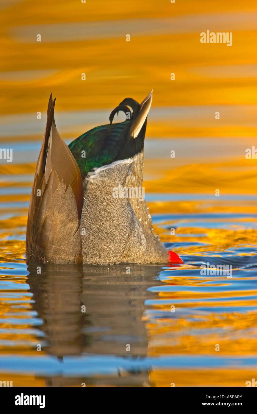 Canard colvert Anas platyrhynchos homme chef dans l'eau USA Photo Stock