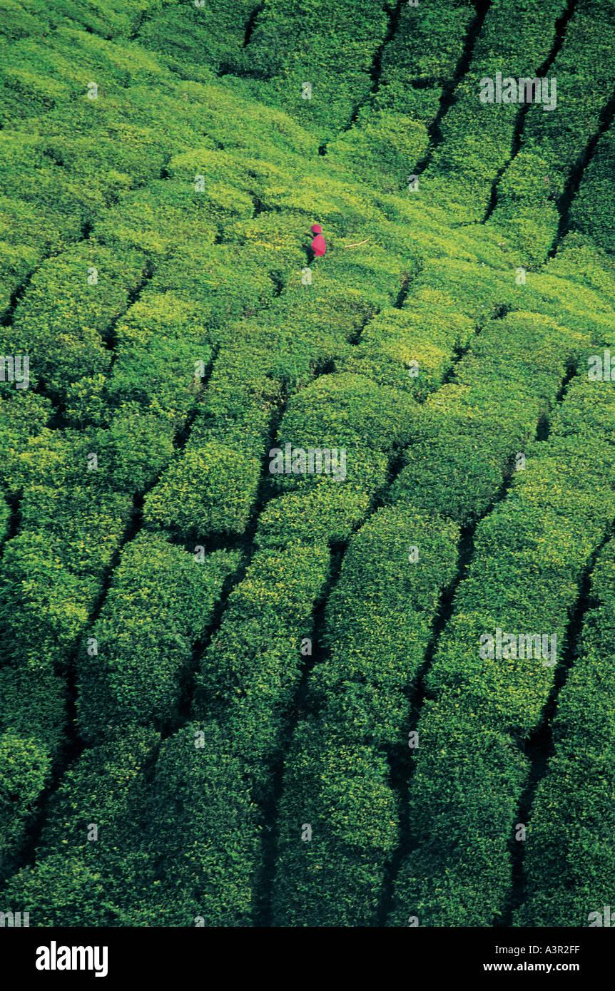 Les cueilleurs de thé Munnar Kerala Inde Photo Stock