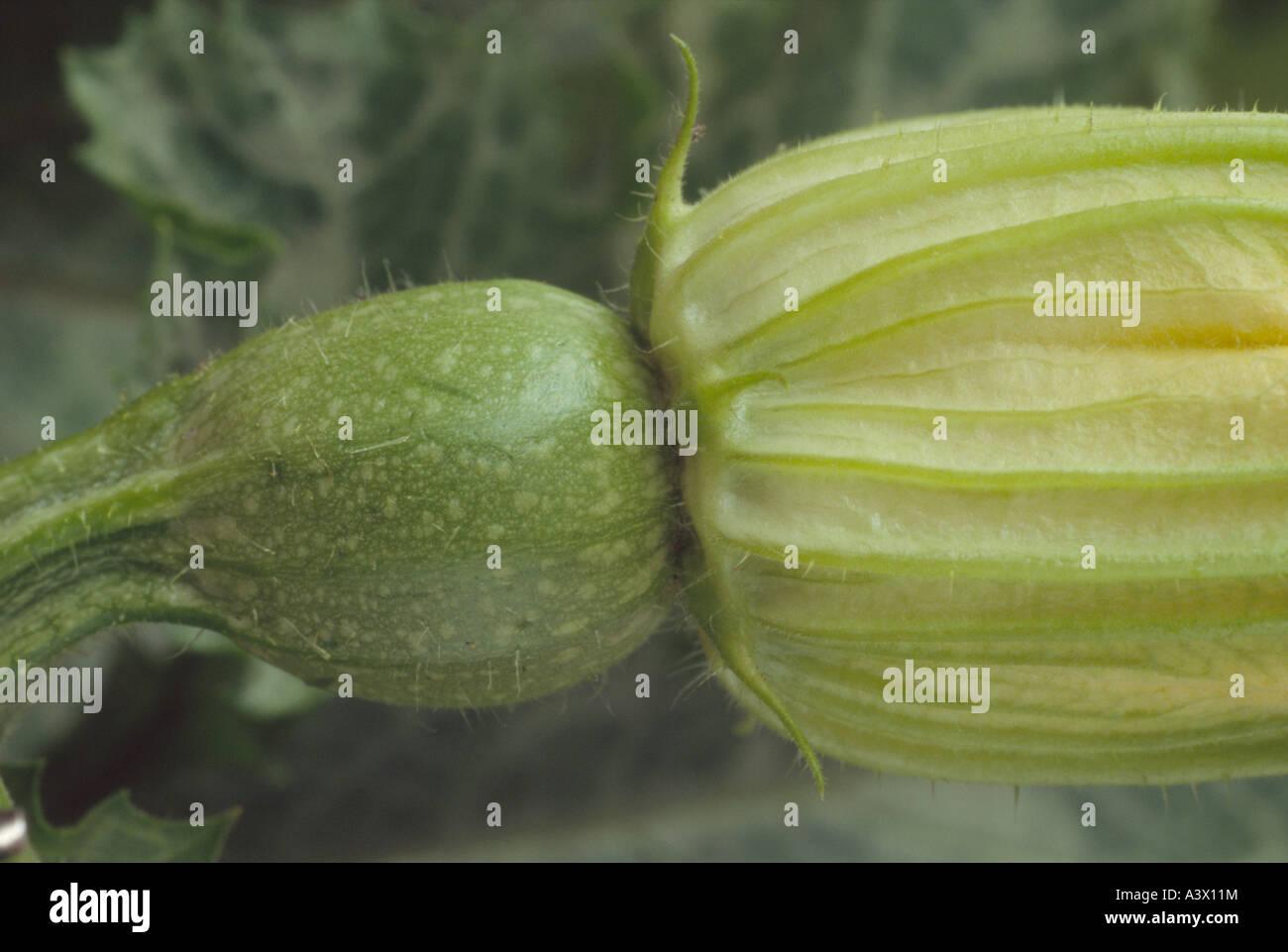 Cucurbita pepo 'De Nice un fruit rond' (courgette) Close up de courgette ronde qui se forment derrière Photo Stock