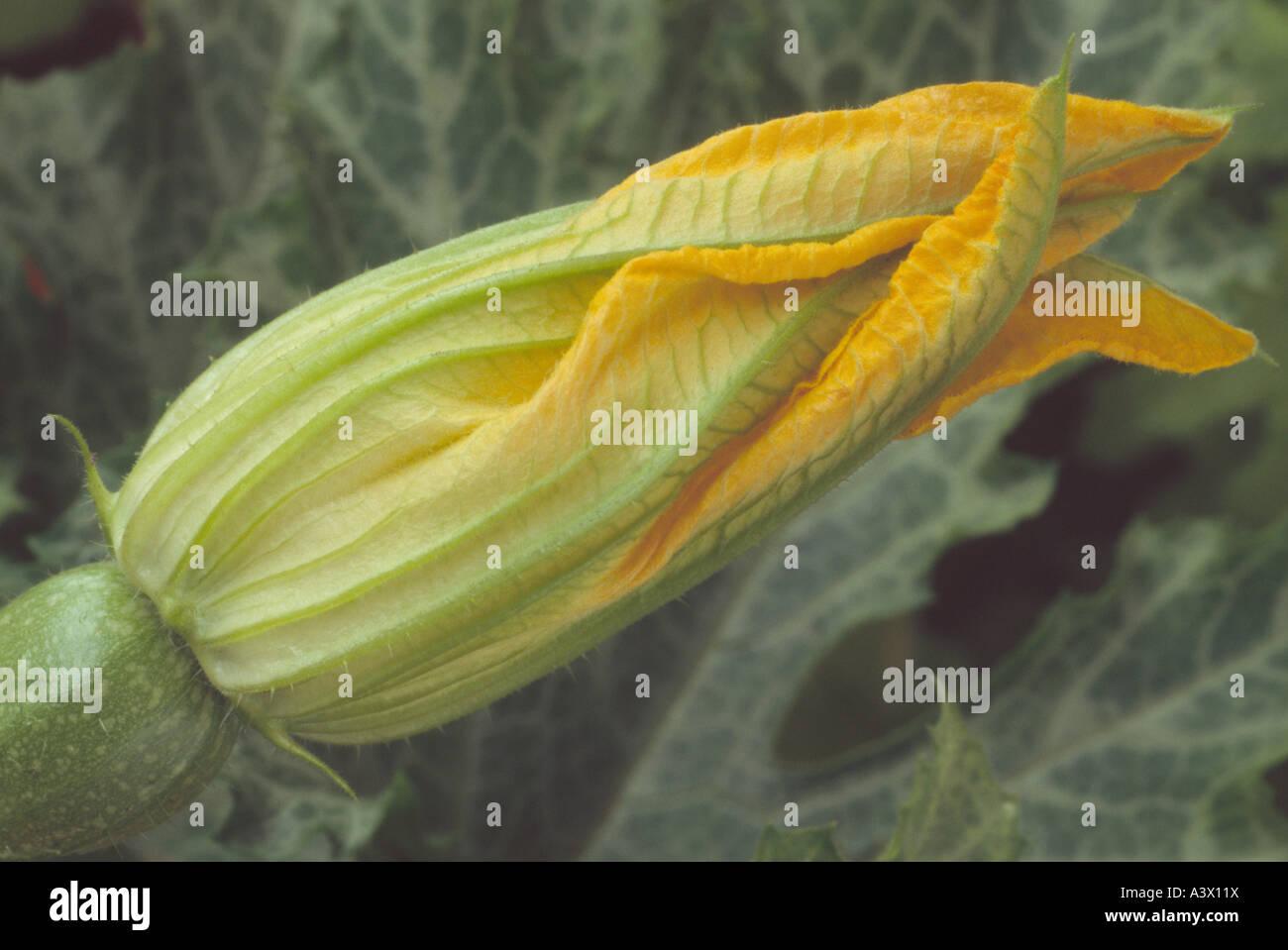 Cucurbita pepo 'De Nice un fruit rond' (courgette) Close up de courgette ronde et fleur sur plante. Photo Stock