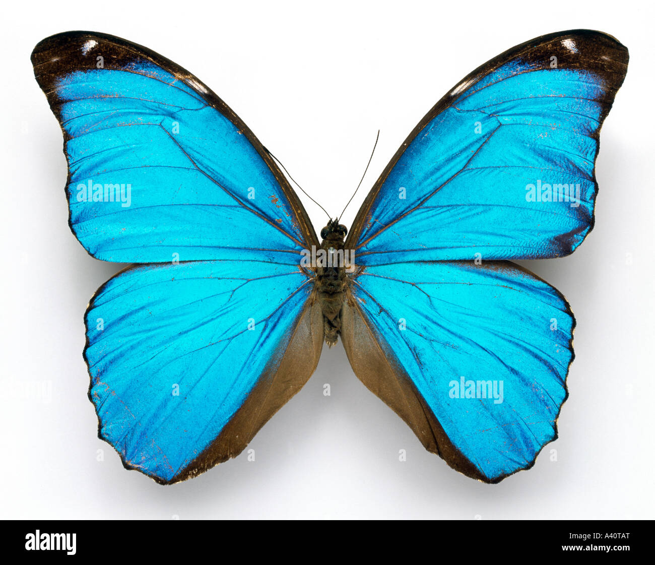 Morpho menelaus Cramer's blue butterfly Photo Stock