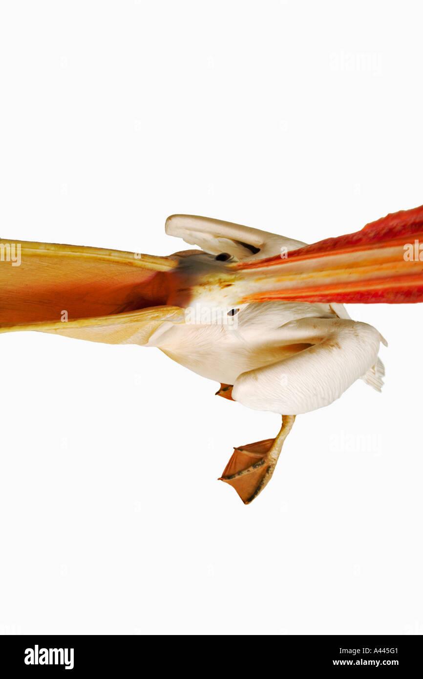 Le pélican blanc. Pelecanus onocrotalus. De grands oiseaux qui vivent en colonies. Avez orteils palmés et aplati long projet de loi. Photo Stock