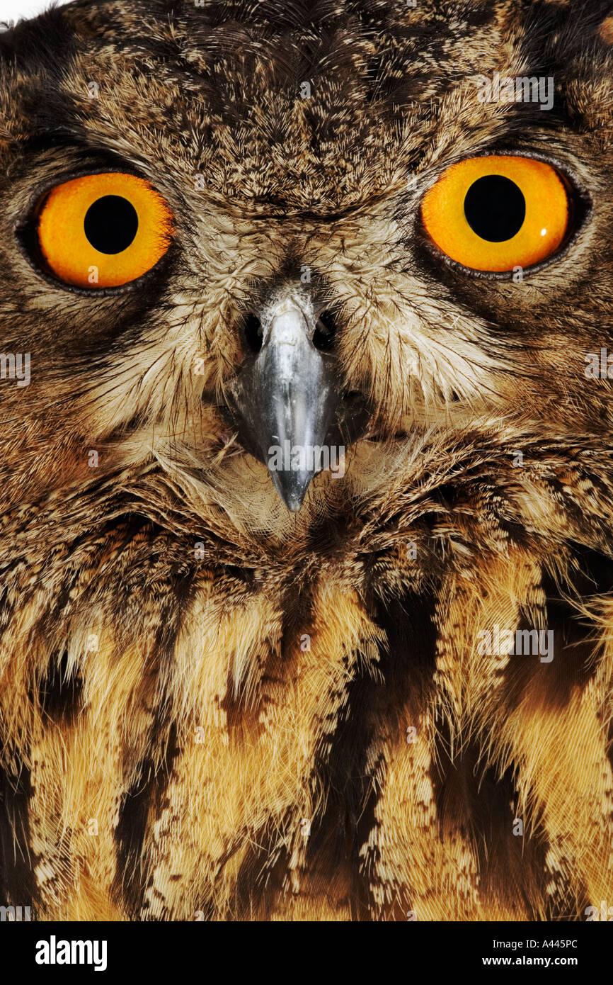 Owl Bubo bubo Grand Le plus grand et le plus puissant d'Amérique en Europe le plus connu pour les yeux jaune Photo Stock