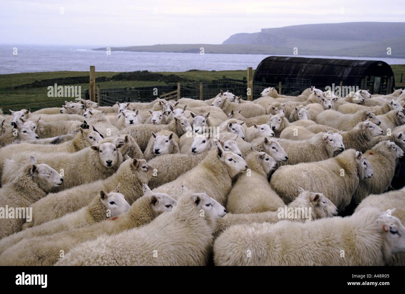 Un troupeau de moutons dans un enclos en attente d'être cisaillé .Shetland Islands près de Lerwick . Banque D'Images