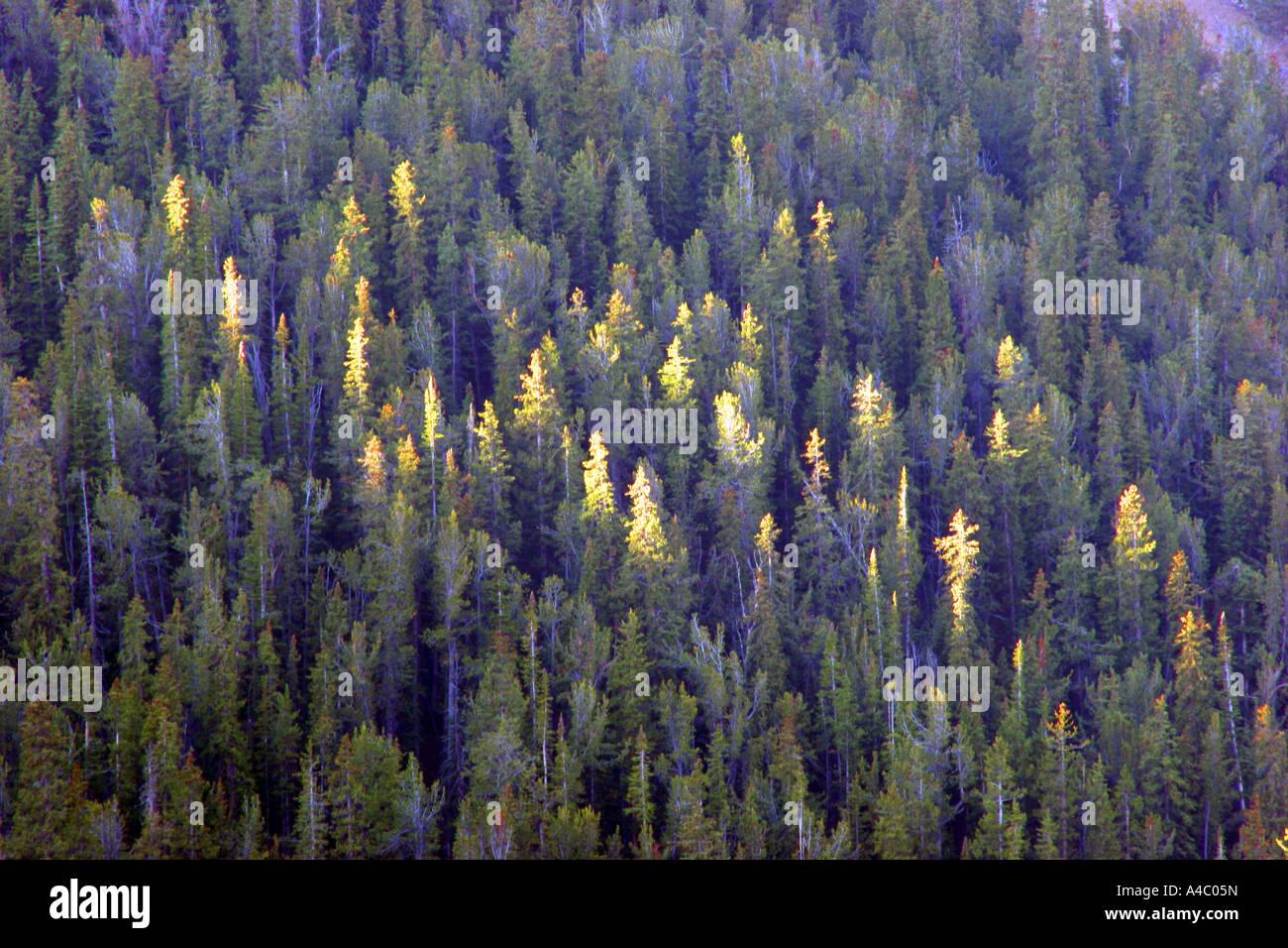 La lumière du soleil sur les arbres, Wyoming Banque D'Images