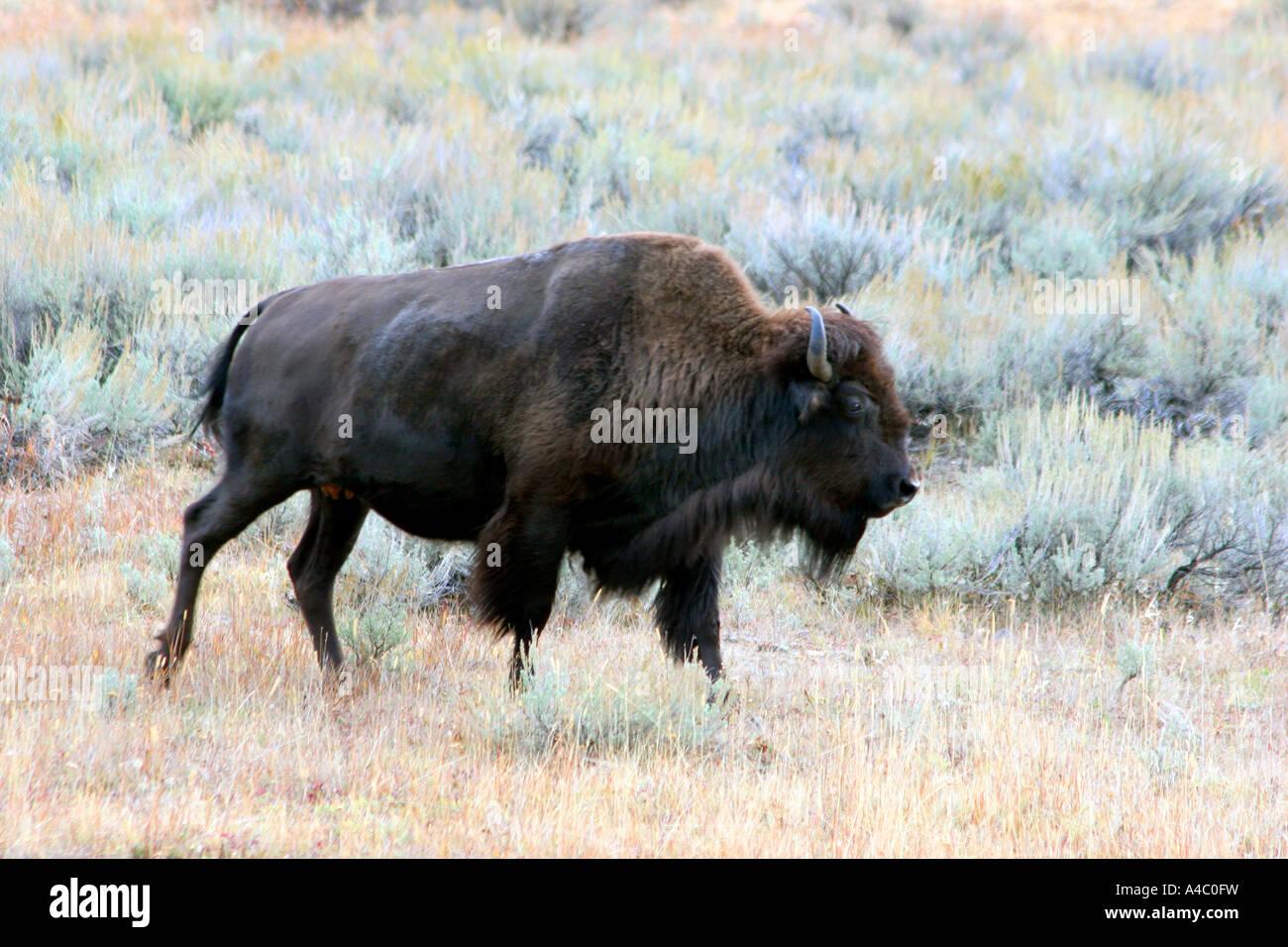 Le bison, Lamar valley, le parc national de Yellowstone, Wyoming Banque D'Images