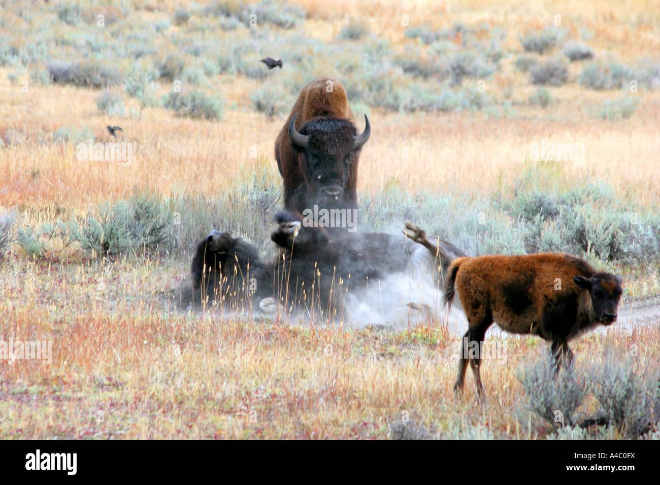 Prendre un bain de poussière de bison, Lamar valley, le parc national de Yellowstone, Wyoming Banque D'Images