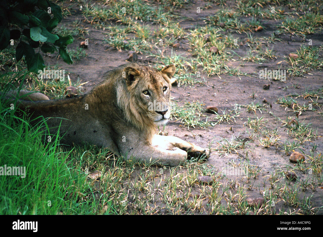 Lion, South Luangwa national park, Zambie Banque D'Images