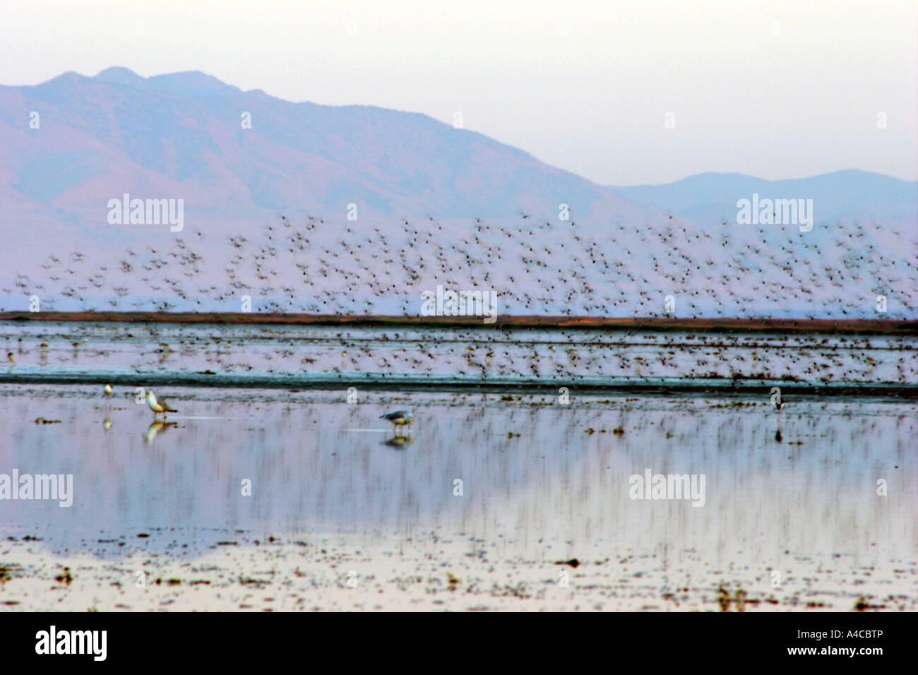 Battant la sauvagine, grand lac salé, Utah Banque D'Images