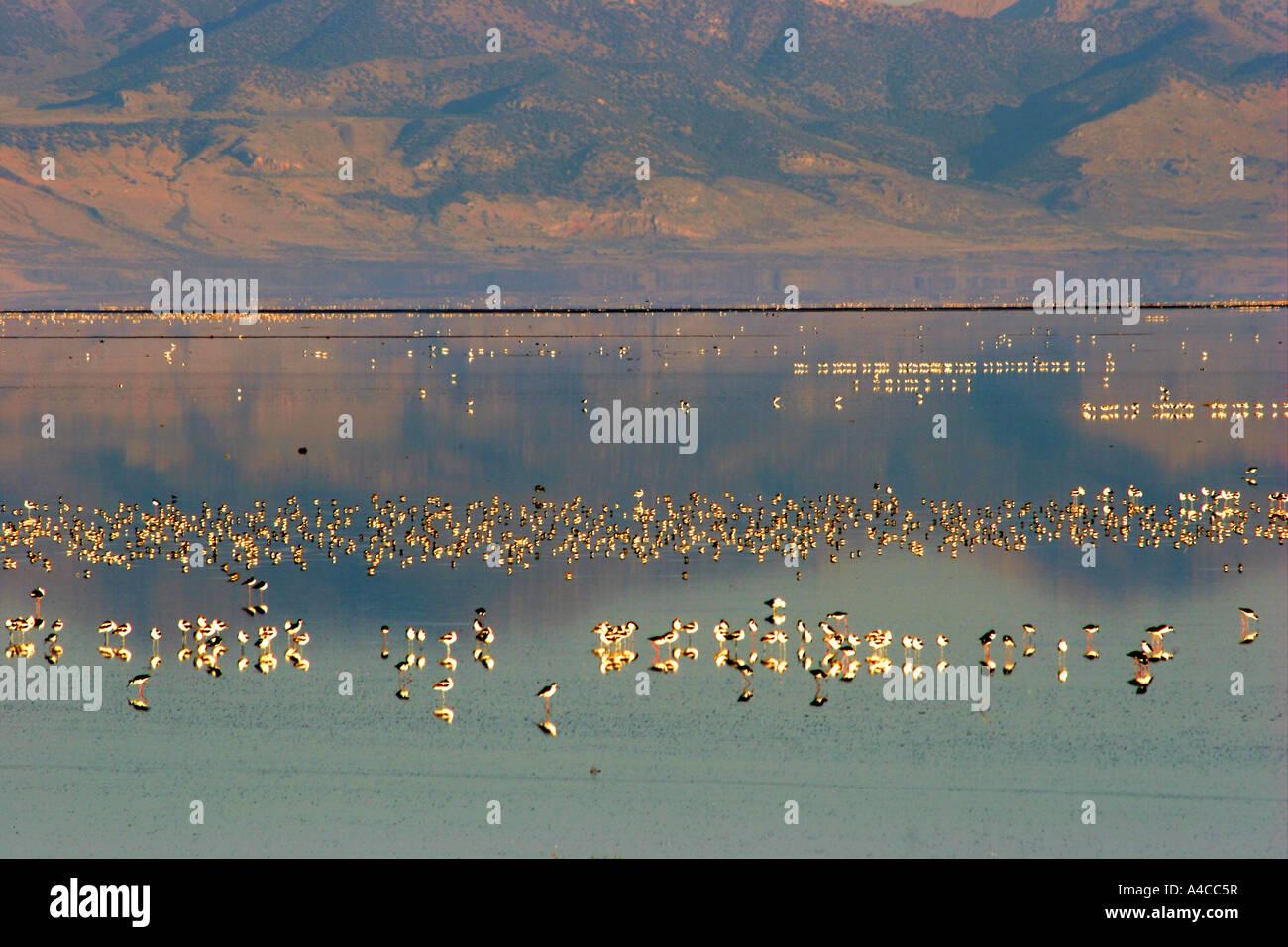 La sauvagine, grand lac salé, Utah Banque D'Images