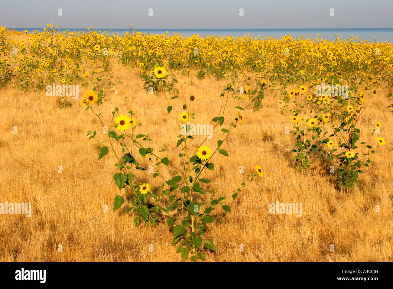 Le tournesol, l'Antelope Island State Park, Utah Banque D'Images