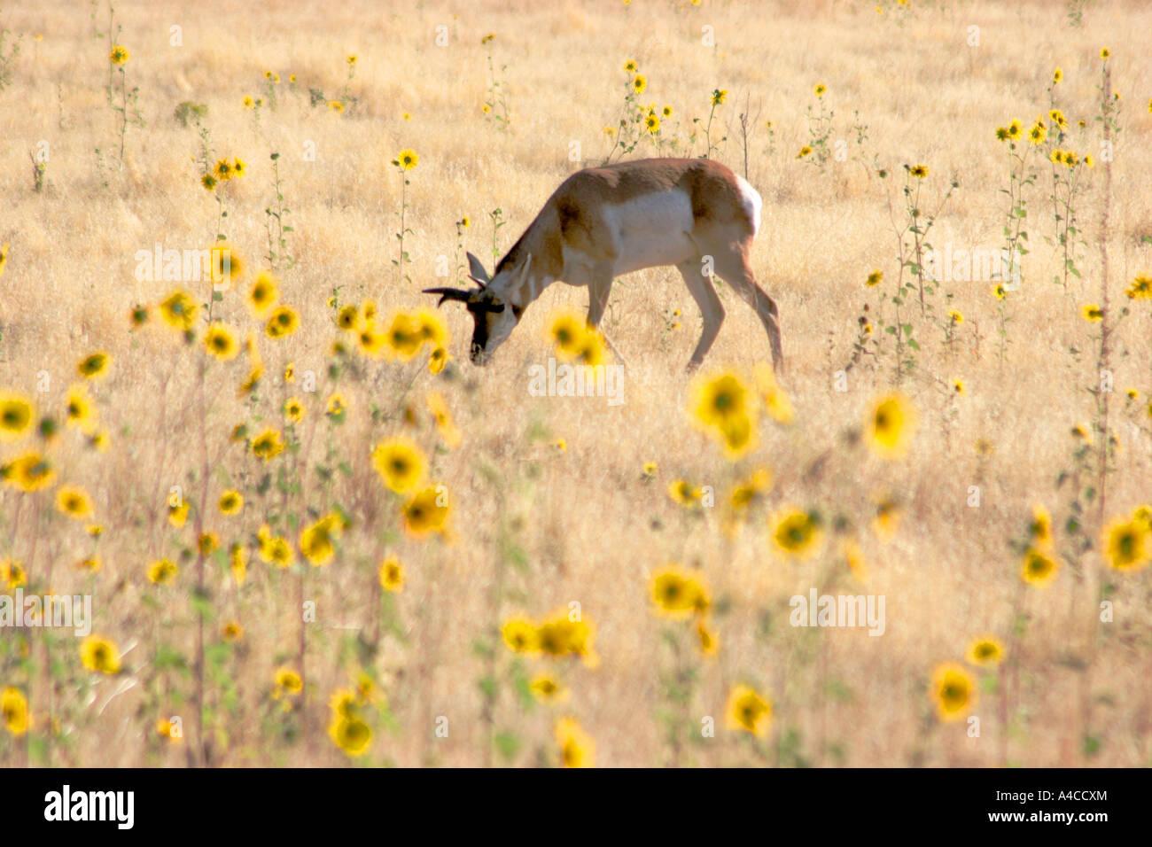 L'antilope Pronghorn, Island State Park, Utah Banque D'Images