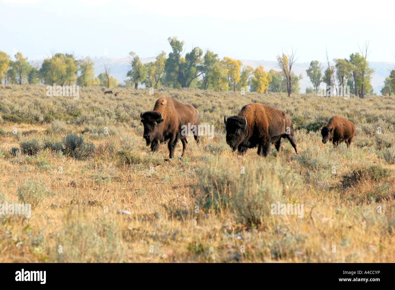 Troupeau de bisons antilopes passage appartements, Grand Teton National Park Banque D'Images