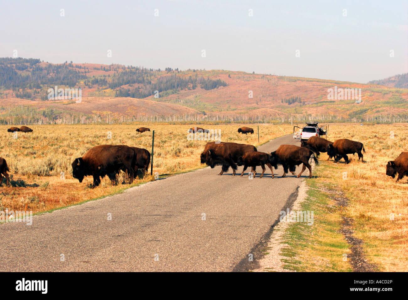 Troupeau de bisons antilopes croisement route plate, Grand Teton National Park Banque D'Images